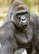 Harambe; Better Off Dead Than Alive In A Zoo